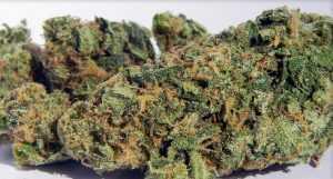 Blueberry – Indica | Marijuana Strains for sale