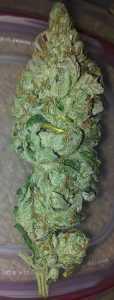 Hash Plant – Hybrid | Marijuana Strains for sale