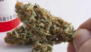 Lemon Kush – Hybrid | Buy Marijuana Online | Buy Weed