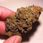 Mango Kush – Hybrid | Buy Marijuana online | Buy weed