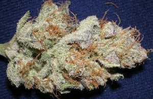 Northern Lights #5 – Indica | Buy Marijuana Online | Buy Weed