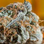 The Complete White Widow Marijuana Strain Review
