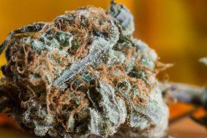 Charlotte's Web marijuana Strain  Complete Review